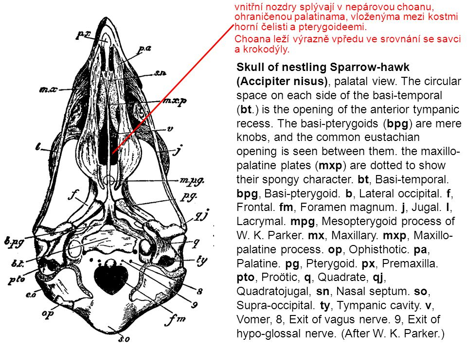 Skull of nestling Sparrow-hawk (Accipiter nisus), palatal view. The circular space on each side of the basi-temporal (bt.) is the opening of the anter