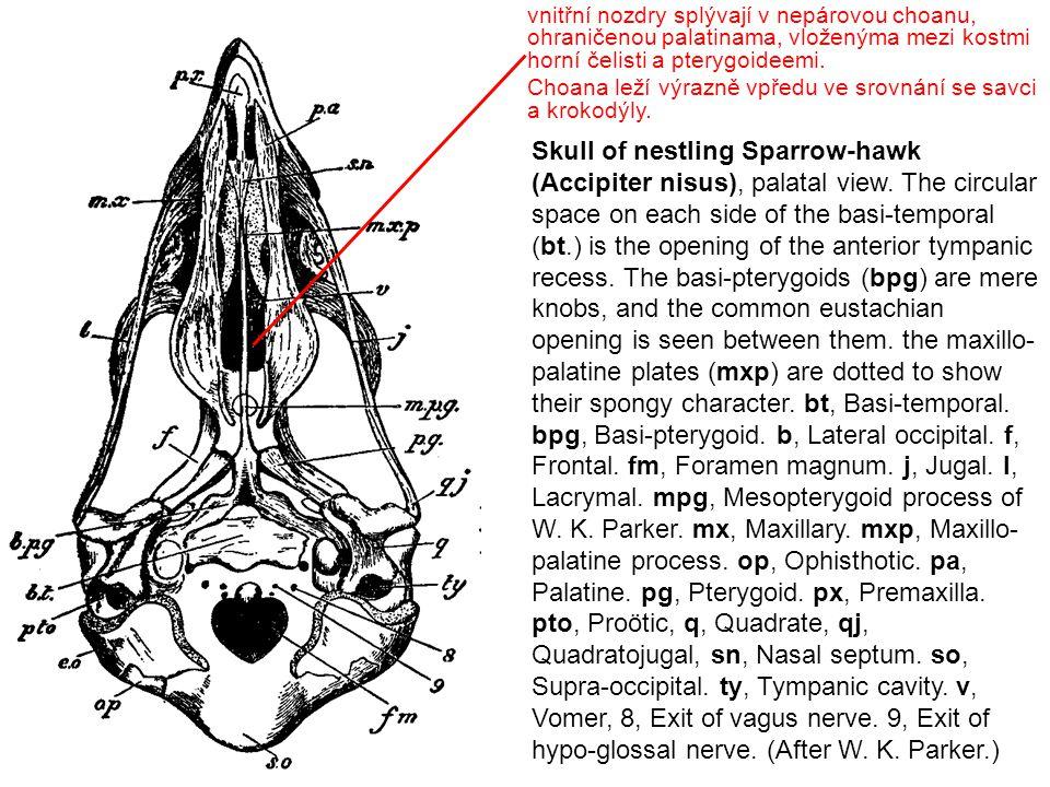 basisphenoid quadratum jugale Basipterigoidní kloub Díky většímu počtu kloubů mají ptáci kinetickou (tvárnou) lebku.