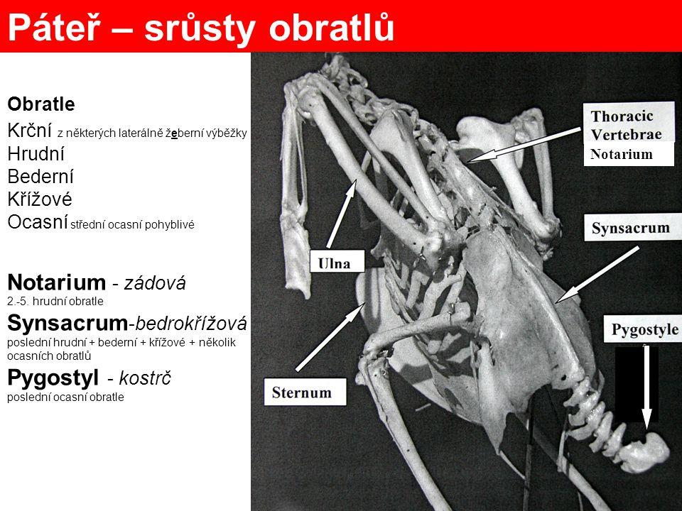 Thorax (hrudní koš) – silné opory Sternum - prsní kost, crista sterni Coracoid - krkavčí Furcula - vidlička = 2x clavicula Scapula – lopatka Žebra processus uncinatus - háčkovitý výběžek vertebrocostalia sternocostalia