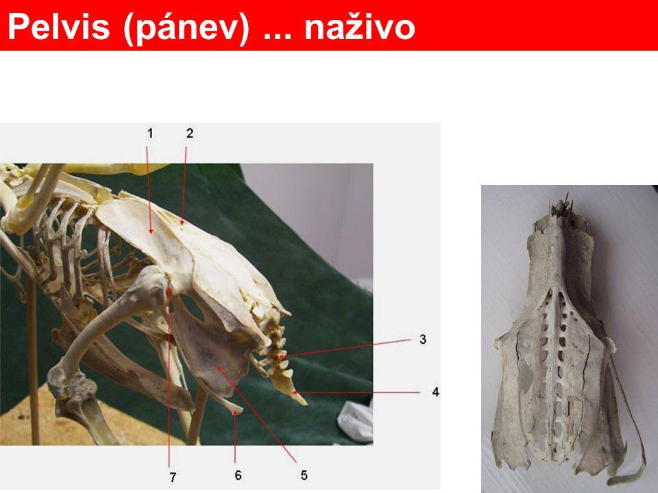 Femur – stehenní Patella - čéška Fibula - lýtková Tibiotarsus Tarsometatarsus Phalanges člověk pro srovnání Pes (to je latinsky noha) metatarsus tarsus