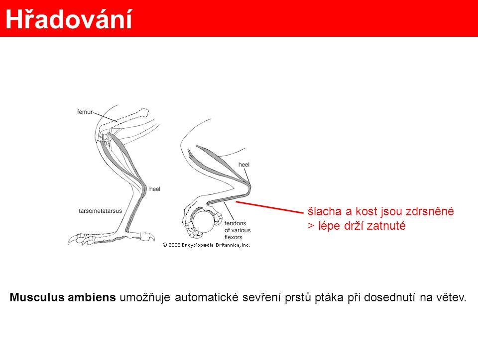 Létací svaly musculus pectoralis musculus supracoracoideus