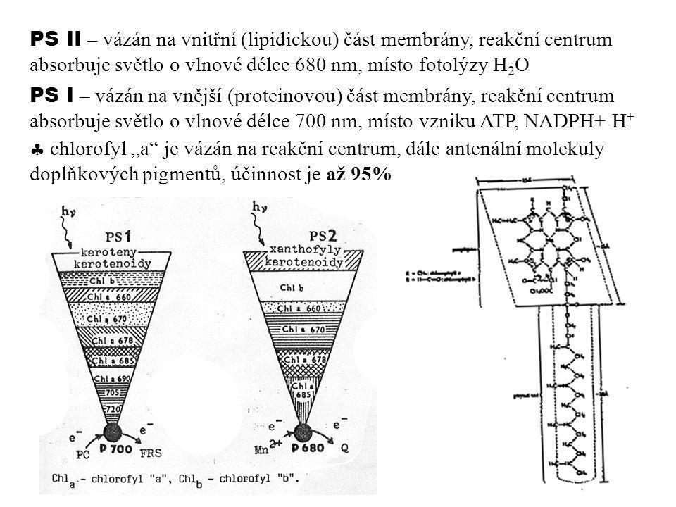 PS II – vázán na vnitřní (lipidickou) část membrány, reakční centrum absorbuje světlo o vlnové délce 680 nm, místo fotolýzy H 2 O PS I – vázán na vněj