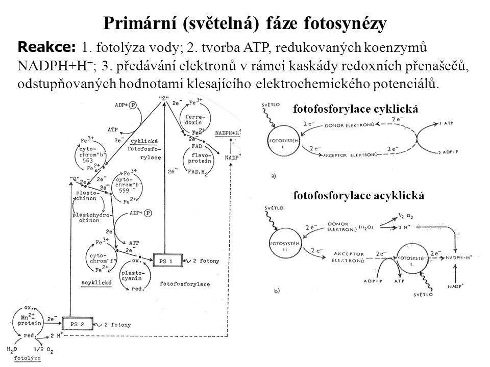 Primární (světelná) fáze fotosynézy Reakce: 1. fotolýza vody; 2. tvorba ATP, redukovaných koenzymů NADPH+H + ; 3. předávání elektronů v rámci kaskády