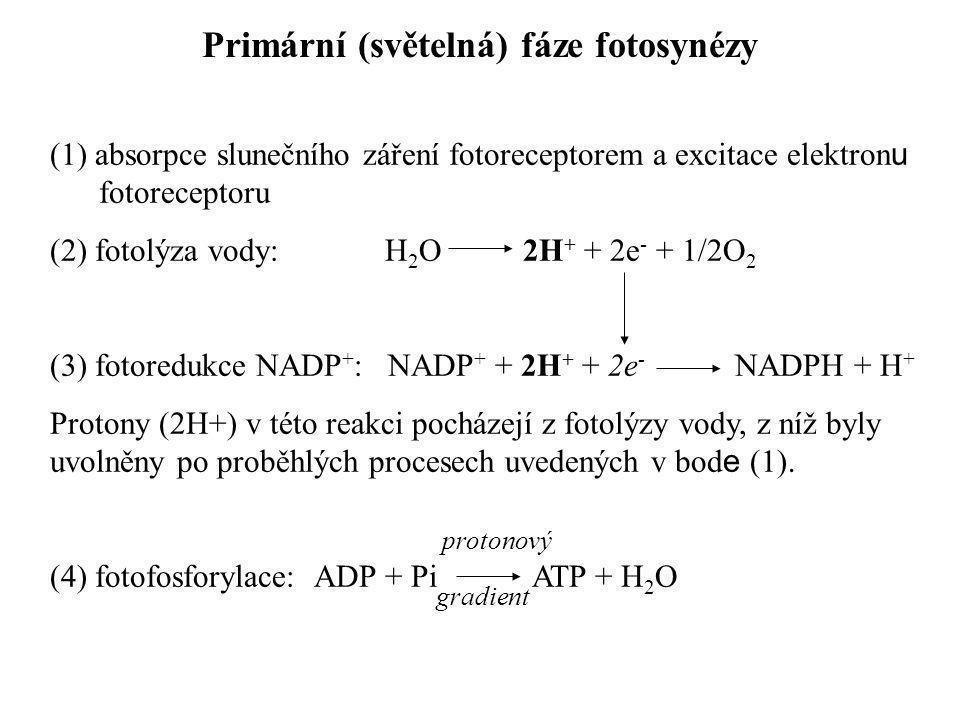 (1) absorpce slunečního záření fotoreceptorem a excitace elektron u fotoreceptoru (2) fotolýza vody: H 2 O 2H + + 2e - + 1/2O 2 (3) fotoredukce NADP +
