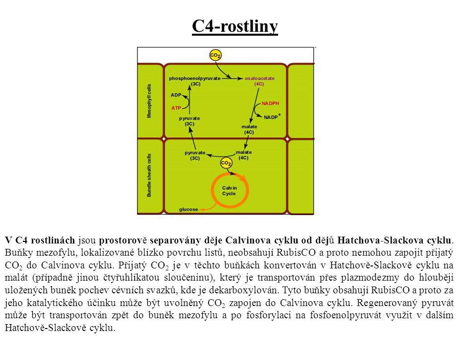 V C4 rostlinách jsou prostorově separovány děje Calvinova cyklu od dějů Hatchova-Slackova cyklu. Buňky mezofylu, lokalizované blízko povrchu listů, ne