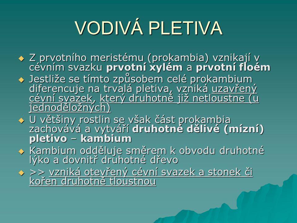 VODIVÁ PLETIVA  Z prvotního meristému (prokambia) vznikají v cévním svazku prvotní xylém a prvotní floém  Jestliže se tímto způsobem celé prokambium diferencuje na trvalá pletiva, vzniká uzavřený cévní svazek, který druhotně již netloustne (u jednoděložných)  U většiny rostlin se však část prokambia zachovává a vytváří druhotné dělivé (mízní) pletivo – kambium  Kambium odděluje směrem k obvodu druhotné lýko a dovnitř druhotné dřevo  >> vzniká otevřený cévní svazek a stonek či kořen druhotně tloustnou