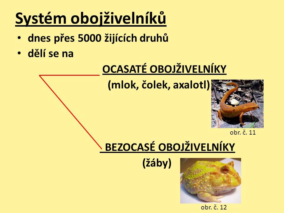 Systém obojživelníků • dnes přes 5000 žijících druhů • dělí se na OCASATÉ OBOJŽIVELNÍKY (mlok, čolek, axalotl) BEZOCASÉ OBOJŽIVELNÍKY (žáby) obr. č. 1