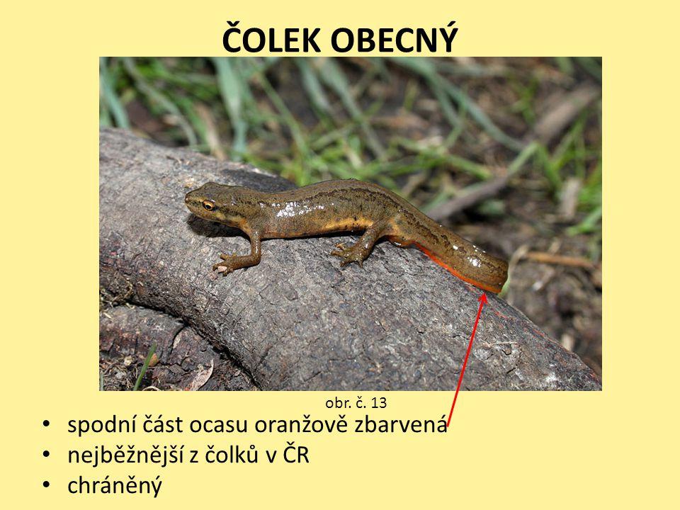 ČOLEK OBECNÝ • spodní část ocasu oranžově zbarvená • nejběžnější z čolků v ČR • chráněný obr. č. 13