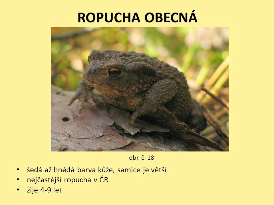 ROPUCHA OBECNÁ • šedá až hnědá barva kůže, samice je větší • nejčastější ropucha v ČR • žije 4-9 let obr. č. 18