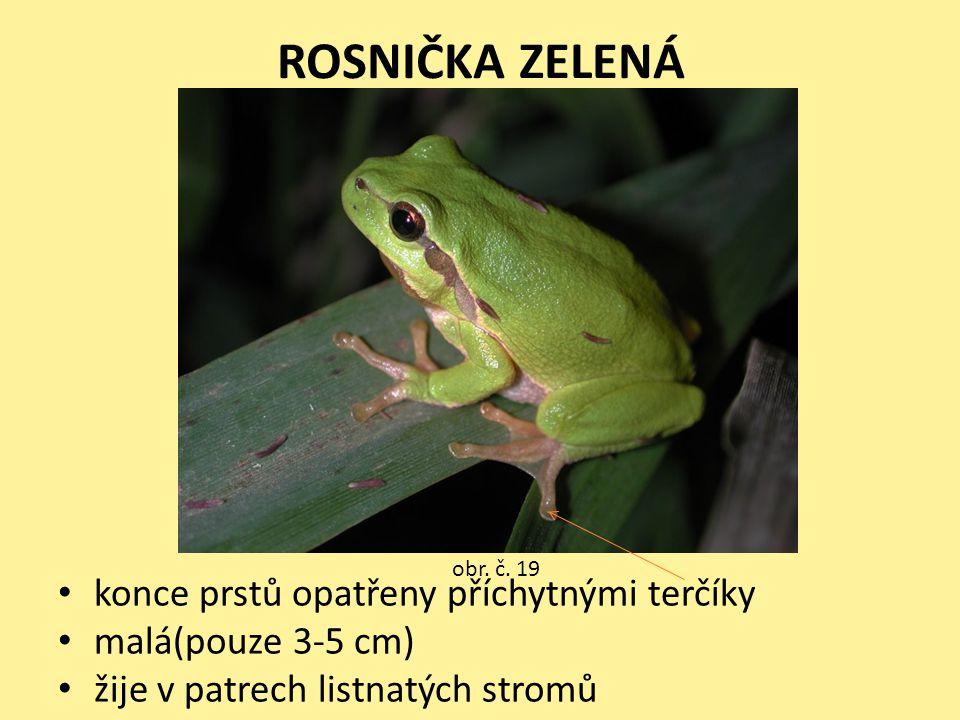 ROSNIČKA ZELENÁ • konce prstů opatřeny příchytnými terčíky • malá(pouze 3-5 cm) • žije v patrech listnatých stromů obr. č. 19