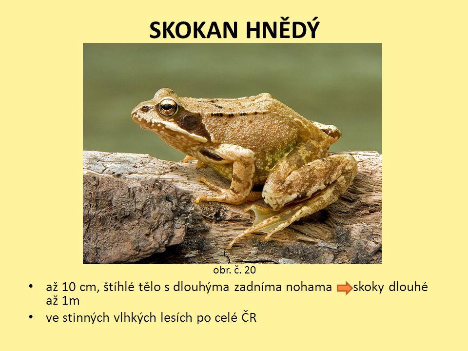 SKOKAN HNĚDÝ • až 10 cm, štíhlé tělo s dlouhýma zadníma nohama skoky dlouhé až 1m • ve stinných vlhkých lesích po celé ČR obr. č. 20