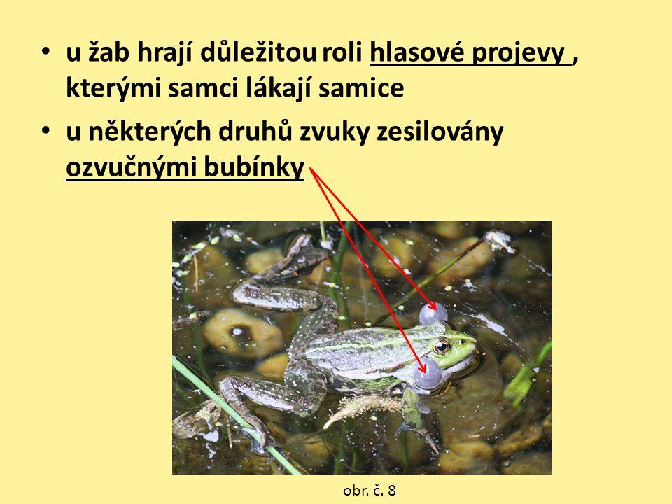 • u žab hrají důležitou roli hlasové projevy, kterými samci lákají samice • u některých druhů zvuky zesilovány ozvučnými bubínky obr. č. 8