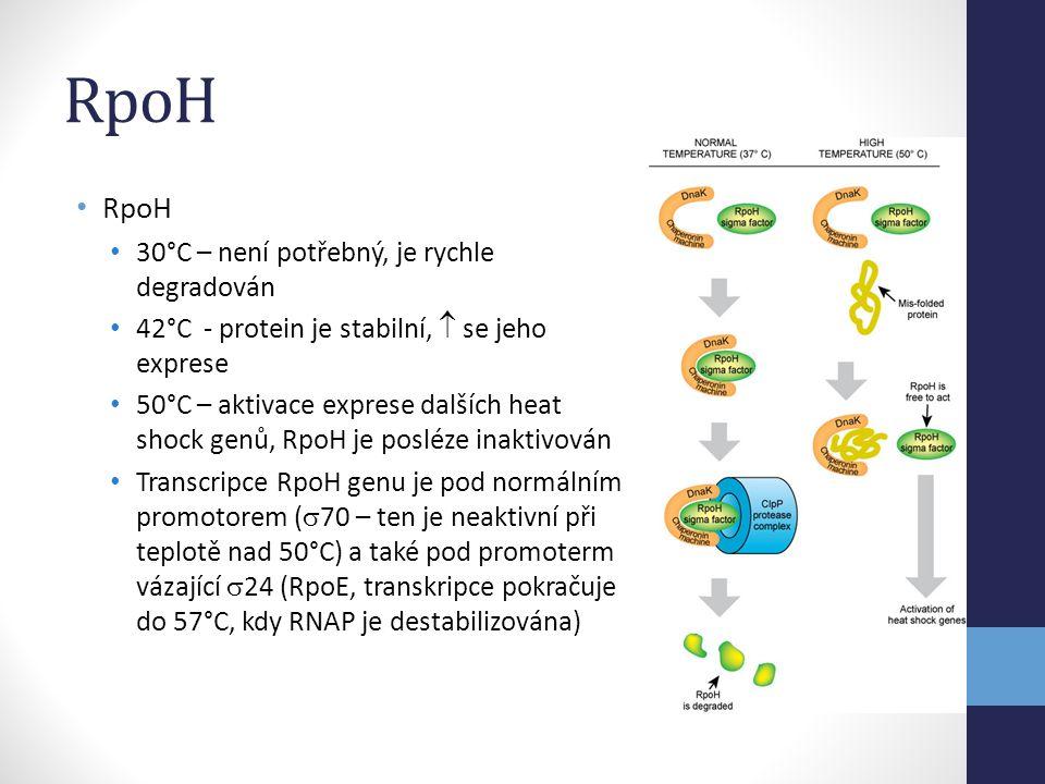 RpoH • RpoH • 30°C – není potřebný, je rychle degradován • 42°C - protein je stabilní,  se jeho exprese • 50°C – aktivace exprese dalších heat shock