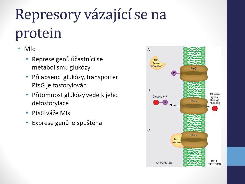 Represory vázající se na protein • Mlc • Represe genů účastnící se metabolismu glukózy • Při absenci glukózy, transporter PtsG je fosforylován • Příto