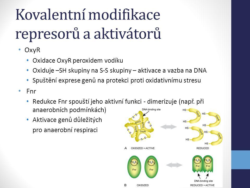 Kovalentní modifikace represorů a aktivátorů • OxyR • Oxidace OxyR peroxidem vodíku • Oxiduje –SH skupiny na S-S skupiny – aktivace a vazba na DNA • S