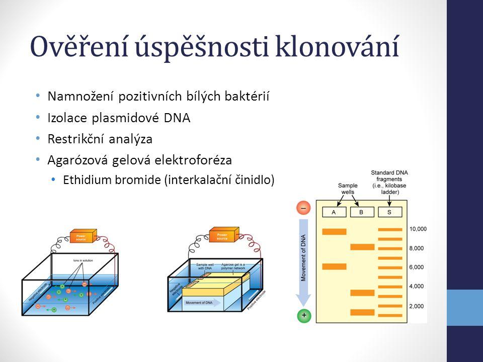 Ověření úspěšnosti klonování • Namnožení pozitivních bílých baktérií • Izolace plasmidové DNA • Restrikční analýza • Agarózová gelová elektroforéza •