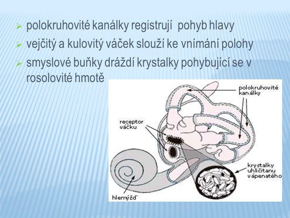 polokruhovité kanálky registrují pohyb hlavy  vejčitý a kulovitý váček slouží ke vnímání polohy  smyslové buňky dráždí krystalky pohybující se v r