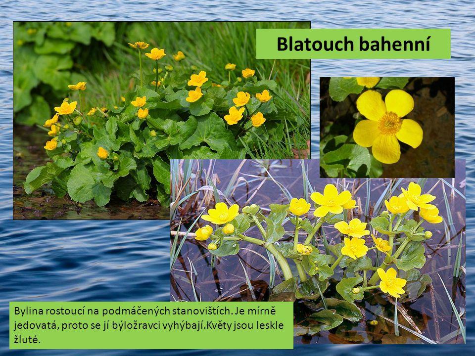 Blatouch bahenní Bylina rostoucí na podmáčených stanovištích. Je mírně jedovatá, proto se jí býložravci vyhýbají.Květy jsou leskle žluté.