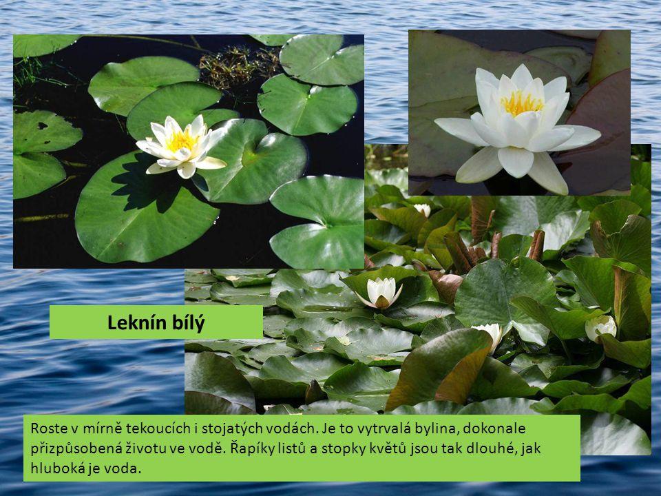 Roste v mírně tekoucích i stojatých vodách. Je to vytrvalá bylina, dokonale přizpůsobená životu ve vodě. Řapíky listů a stopky květů jsou tak dlouhé,