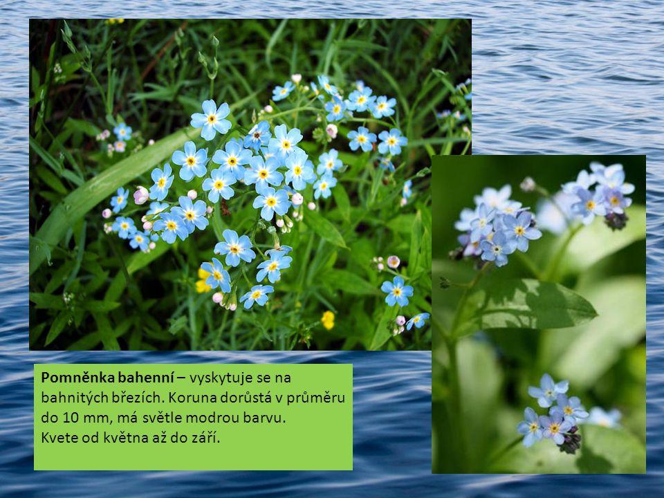 Pomněnka bahenní – vyskytuje se na bahnitých březích. Koruna dorůstá v průměru do 10 mm, má světle modrou barvu. Kvete od května až do září.
