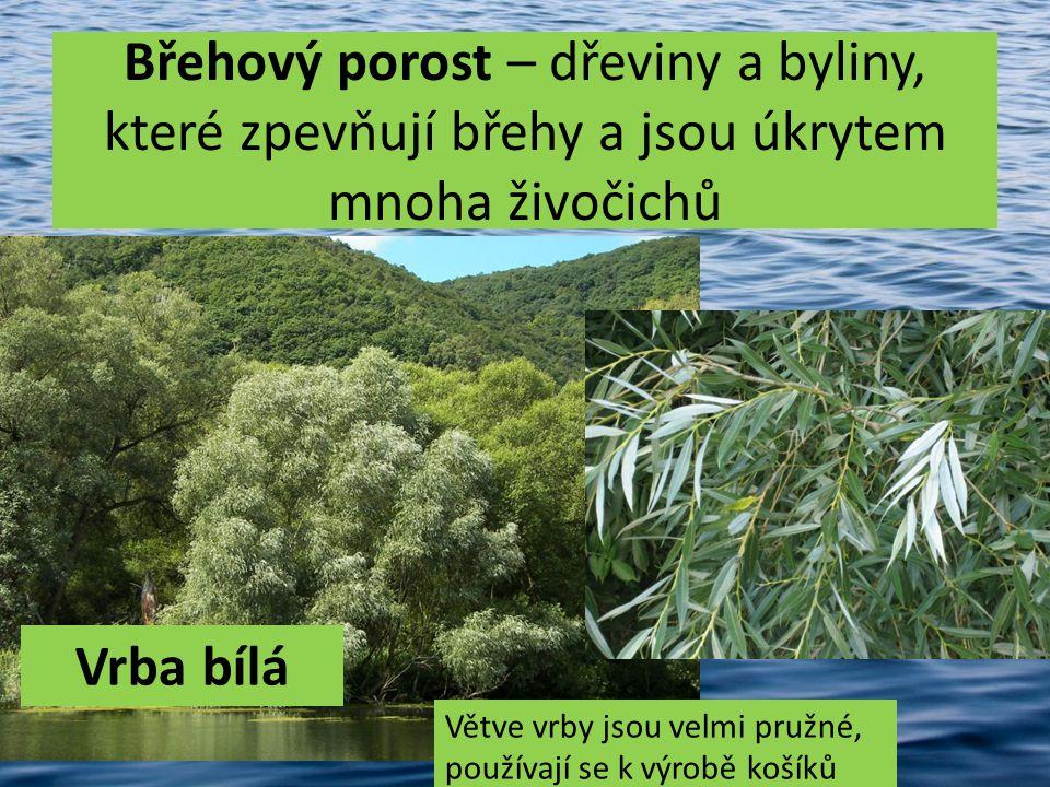 Břehový porost – dřeviny a byliny, které zpevňují břehy a jsou úkrytem mnoha živočichů Vrba bílá Větve vrby jsou velmi pružné, používají se k výrobě k