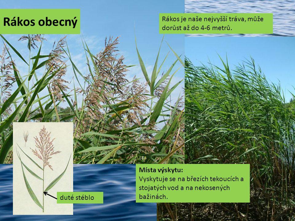 Orobinec úzkolistý Jedná se o vytrvalou bylinu, která dorůstá až do výšky 1-3 m.