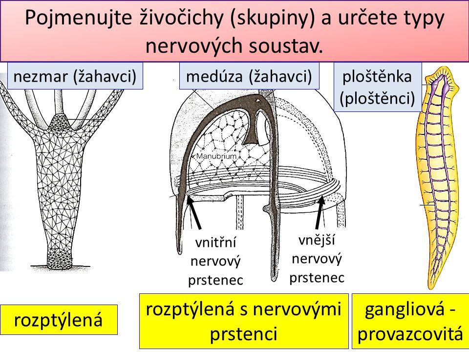 Pojmenujte živočichy (skupiny) a určete typy nervových soustav. vnitřní nervový prstenec vnější nervový prstenec rozptýlená s nervovými prstenci gangl