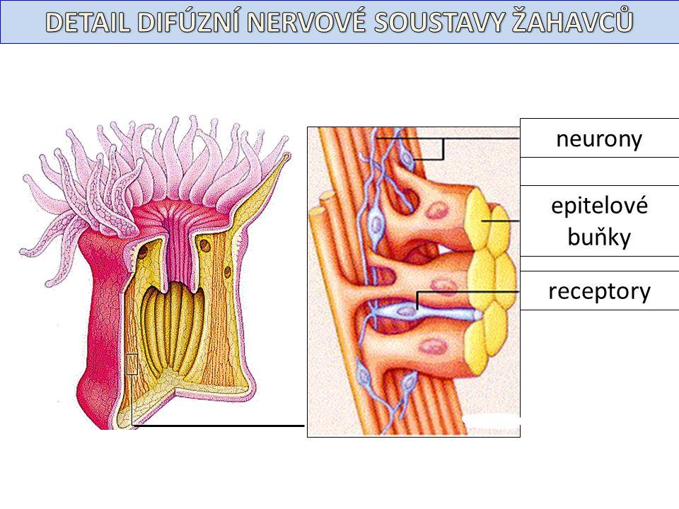 neurony epitelové buňky receptory