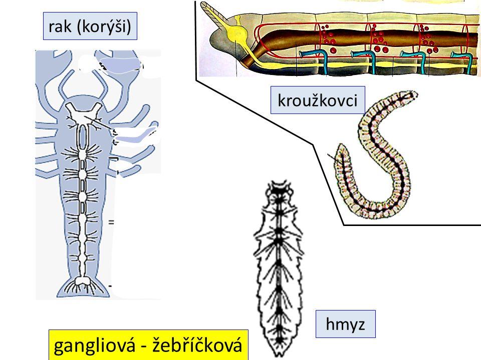 gangliová - žebříčková hmyz rak (korýši) kroužkovci