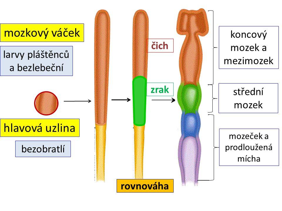 mozkový váček hlavová uzlina larvy pláštěnců a bezlebeční bezobratlí koncový mozek a mezimozek střední mozek mozeček a prodloužená mícha čich zrak rovnováha