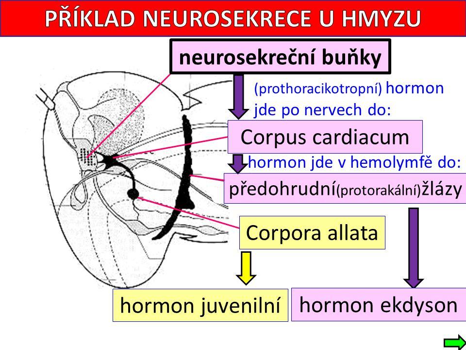 Corpus cardiacum neurosekreční buňky (prothoracikotropní) hormon jde po nervech do: hormon jde v hemolymfě do: hormon ekdyson hormon juvenilní předohr