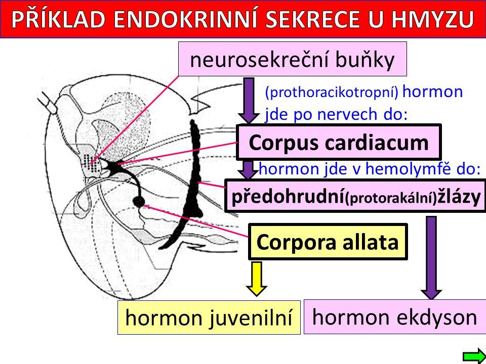Corpora allata Corpus cardiacum neurosekreční buňky (prothoracikotropní) hormon jde po nervech do: hormon jde v hemolymfě do: hormon ekdyson hormon juvenilní předohrudní (protorakální) žlázy