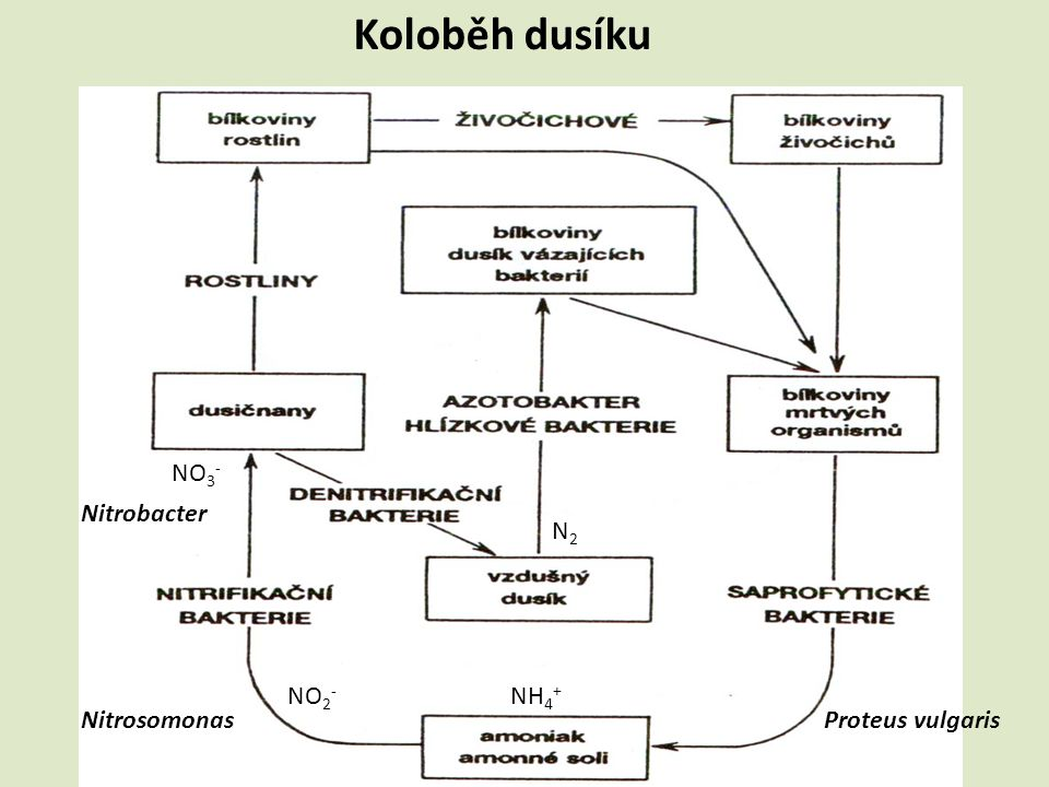 Koloběh dusíku Proteus vulgarisNitrosomonas Nitrobacter NH 4 + NO 2 - NO 3 - N2N2