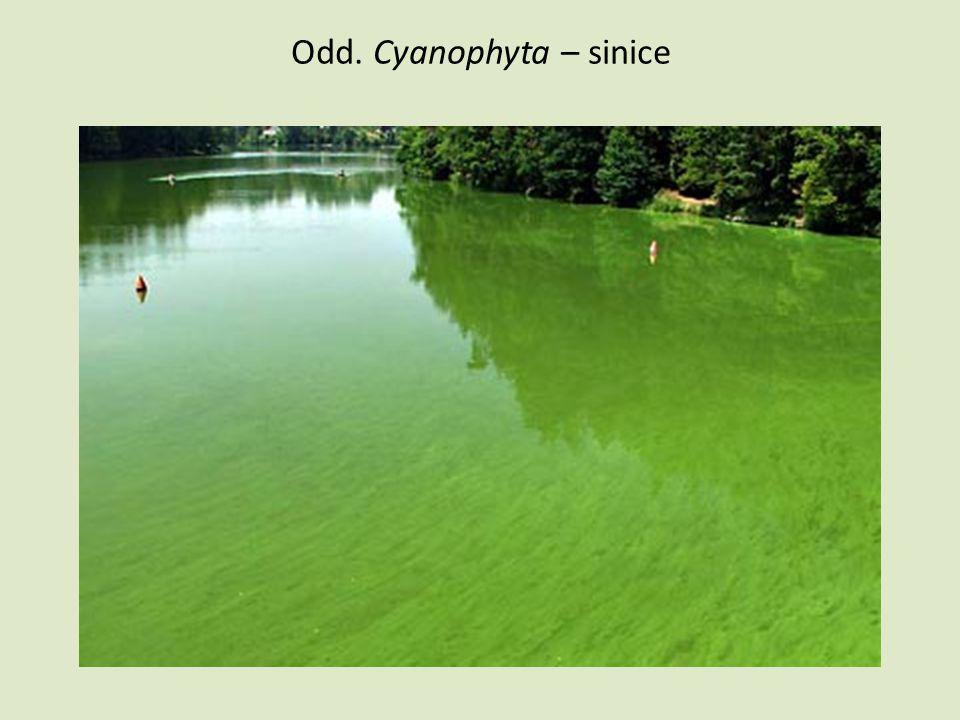 Odd.Cyanophyta – sinice charakteristika • Převážně fotoautotrofní organizmy, stáří 3,5 mld.