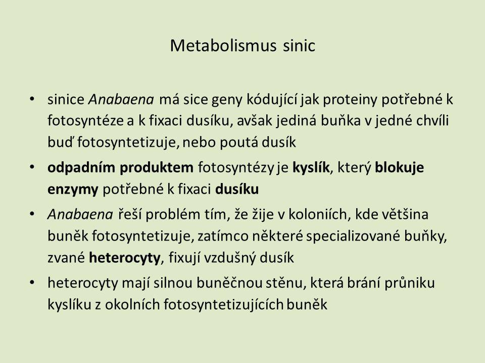 Metabolismus sinic • sinice Anabaena má sice geny kódující jak proteiny potřebné k fotosyntéze a k fixaci dusíku, avšak jediná buňka v jedné chvíli bu