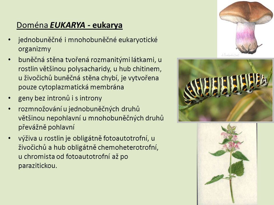 Doména EUKARYA - eukarya • jednobuněčné i mnohobuněčné eukaryotické organizmy • buněčná stěna tvořená rozmanitými látkami, u rostlin většinou polysach