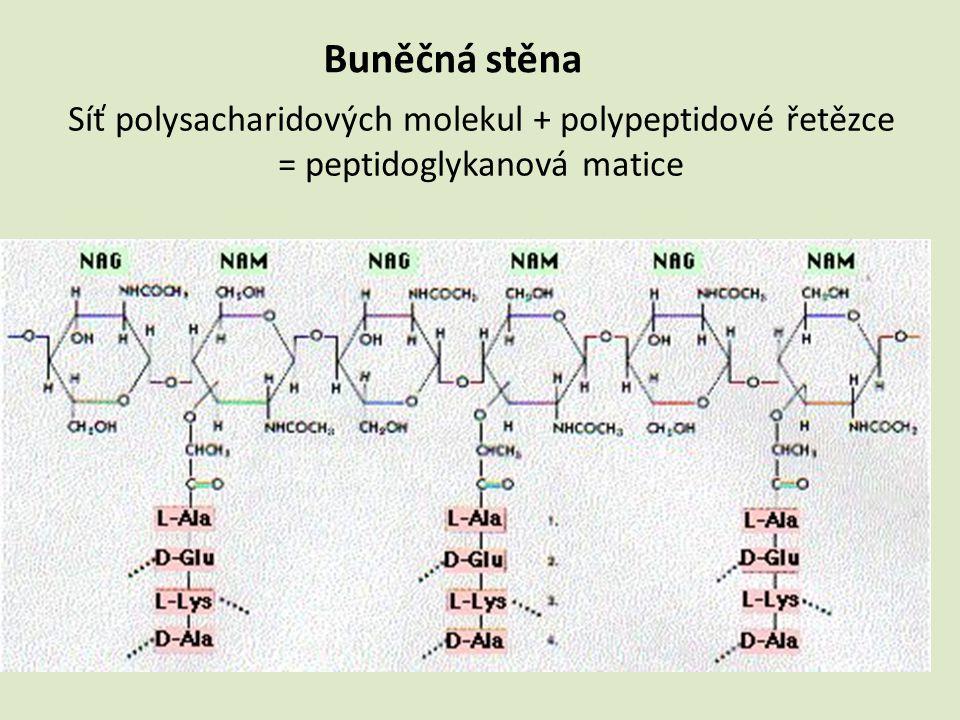 Síť polysacharidových molekul + polypeptidové řetězce = peptidoglykanová matice Buněčná stěna