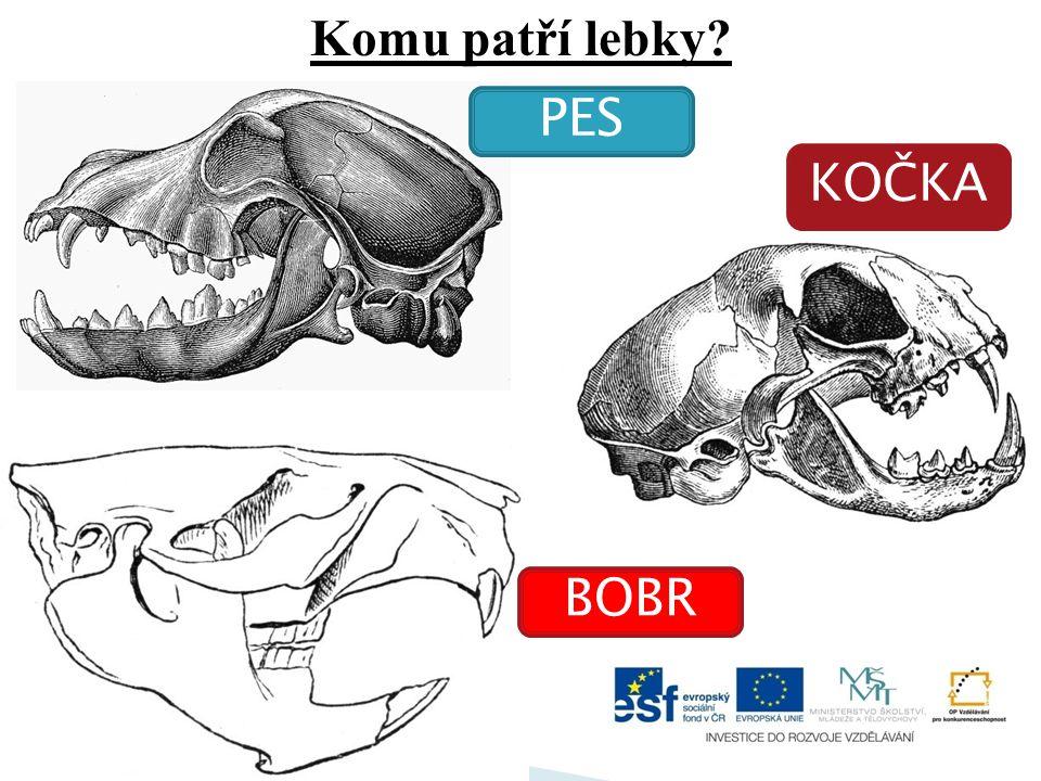 Který živočich má v horní čelisti dva silné kly? •tuleň a •mrož b
