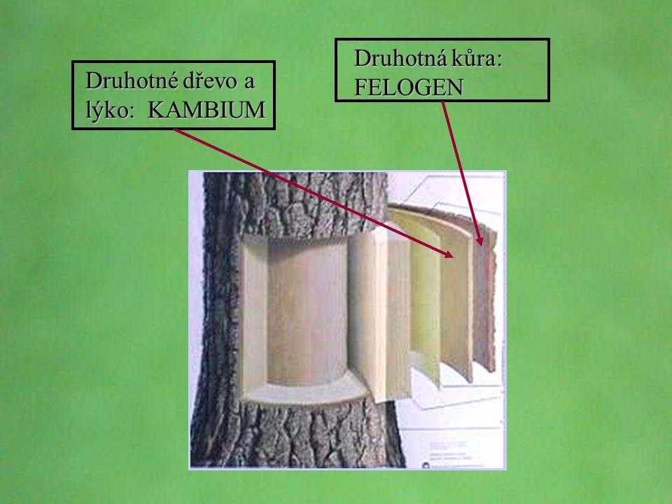 © Letohradské soukromé gymnázium o.p.s. Druhotné dřevo a lýko: KAMBIUM Druhotná kůra: FELOGEN