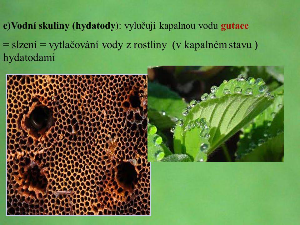 © Letohradské soukromé gymnázium o.p.s. c)Vodní skuliny (hydatody): vylučují kapalnou vodu gutace = slzení = vytlačování vody z rostliny (v kapalném s