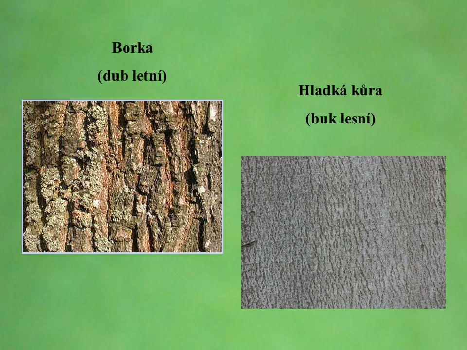 © Letohradské soukromé gymnázium o.p.s. Borka (dub letní) Hladká kůra (buk lesní)