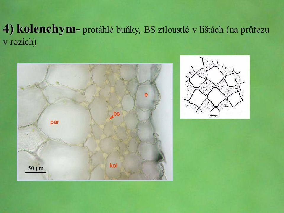 © Letohradské soukromé gymnázium o.p.s. 4) kolenchym- 4) kolenchym- protáhlé buňky, BS ztloustlé v lištách (na průřezu v rozích)