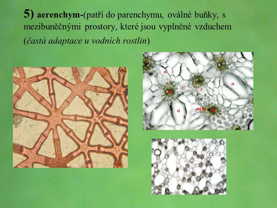 © Letohradské soukromé gymnázium o.p.s. 5) aerenchym-(patří do parenchymu, oválné buňky, s mezibuněčnými prostory, které jsou vyplněné vzduchem (častá