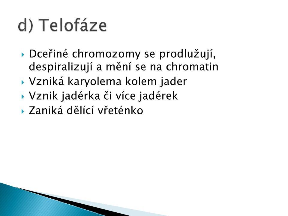  Dceřiné chromozomy se prodlužují, despiralizují a mění se na chromatin  Vzniká karyolema kolem jader  Vznik jadérka či více jadérek  Zaniká dělíc