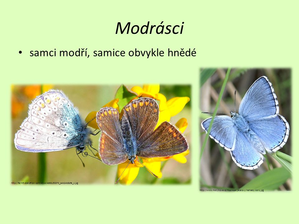 Modrásci • samci modří, samice obvykle hnědé http://farm5.staticflickr.com/4014/4693150370_a4b24b8dfa_z.jpg http://www.motylkove.cz/modrasekjetelovy/nahledy/obr1.jpg