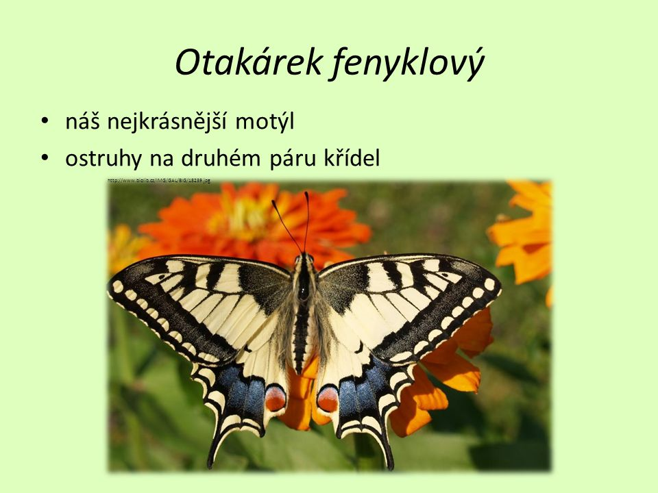 Otakárek fenyklový • náš nejkrásnější motýl • ostruhy na druhém páru křídel http://www.biolib.cz/IMG/GAL/BIG/18239.jpg