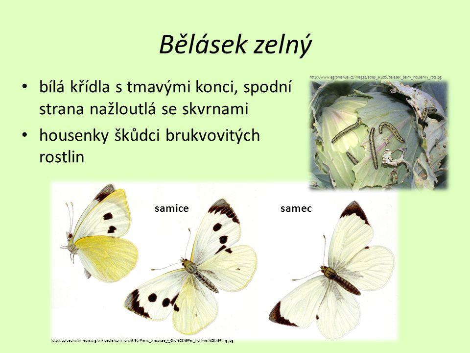 Bělásek zelný • bílá křídla s tmavými konci, spodní strana nažloutlá se skvrnami • housenky škůdci brukvovitých rostlin http://upload.wikimedia.org/wikipedia/commons/9/9b/Pieris_brassicae_-_Gro%C3%9Fer_Kohlwei%C3%9Fling.jpg samicesamec http://www.agromanual.cz/images/atlas_skudci/belasek_zelny_housenky_rod.jpg