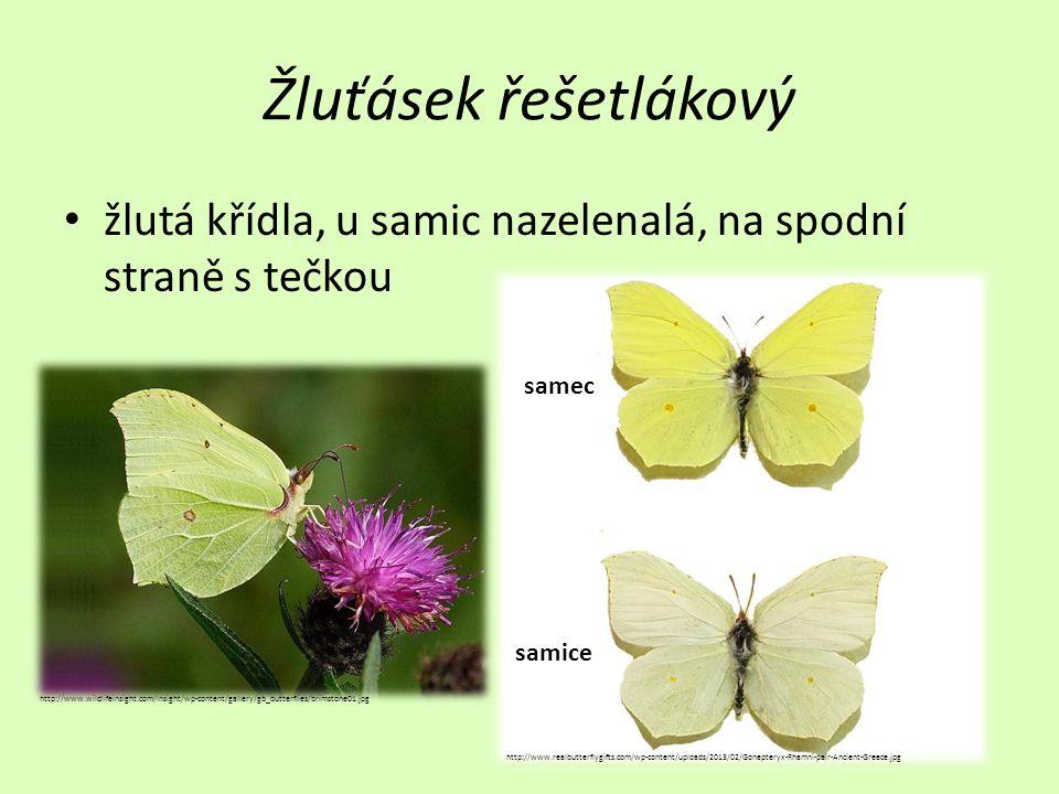 Babočka paví oko • skvrny pavích ok na koncích křídel http://www.biolib.cz/IMG/GAL/4651.jpg