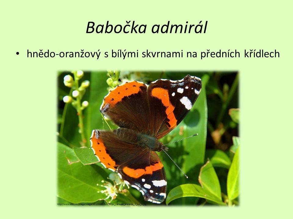 Babočka admirál • hnědo-oranžový s bílými skvrnami na předních křídlech http://www.sott.net/image/image/s5/101699/full/797px_Vanessa_atalanta_2_Luc_V.jpg
