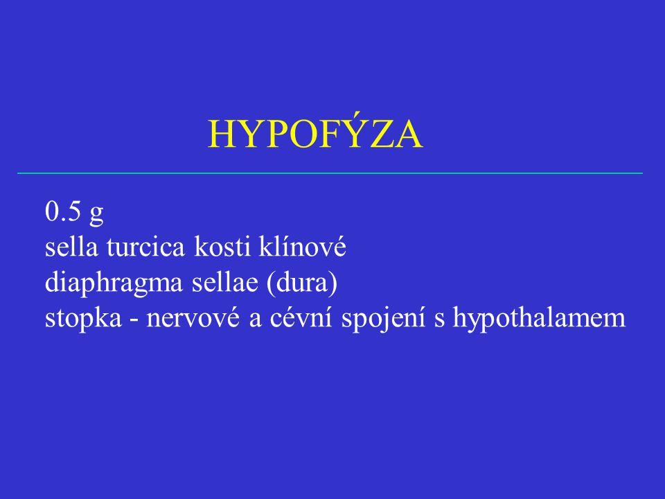 HYPOFÝZA 0.5 g sella turcica kosti klínové diaphragma sellae (dura) stopka - nervové a cévní spojení s hypothalamem